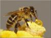 第四单元2.14《蜜蜂》ppt课件1